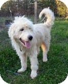 Standard Poodle/Labrador Retriever Mix Dog for adoption in Foster, Rhode Island - Fuzz