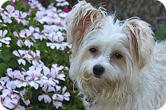 Maltese/Skye Terrier Mix Dog for adoption in Los Angeles, California - Nathalie