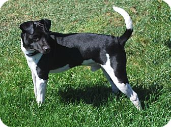 Patterdale Terrier (Fell Terrier)/Jack Russell Terrier Mix Dog for adoption in San Francisco, California - Bart