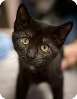 Domestic Shorthair Kitten for adoption in Freeport, New York - Penelope