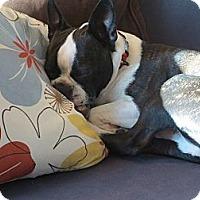 Adopt A Pet :: Petey - sweet Boston Terrier! - Los Angeles, CA