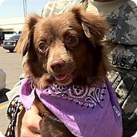 Adopt A Pet :: Kimmy - San Angelo, TX