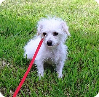 Cairn Terrier/Chinese Crested Mix Dog for adoption in Santa Ana, California - Faith (YW)