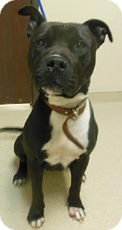 Pit Bull Terrier Mix Dog for adoption in Gary, Indiana - Eight Ball