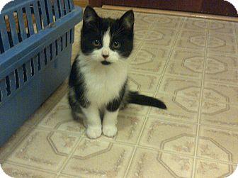 Domestic Shorthair Kitten for adoption in Douglas, Ontario - Charlie