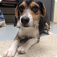 Adopt A Pet :: Angel - Franklin, KY
