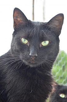 Domestic Shorthair Cat for adoption in Griswold, Connecticut - Prestina