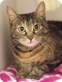 Domestic Shorthair Cat for adoption in Lowell, Massachusetts - Cady
