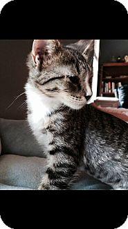Domestic Shorthair Kitten for adoption in Ludowici, Georgia - Emma