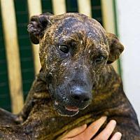 Plott Hound Dog for adoption in Jackson, Mississippi - Serenity