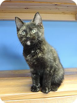 Domestic Shorthair Kitten for adoption in Brookings, South Dakota - Miss Gulch