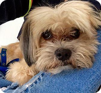 Lhasa Apso Mix Dog for adoption in Encino, California - Koda