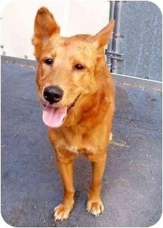 Collie/Pharaoh Hound Mix Dog for adoption in New York, New York - Foxy