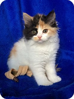 Persian Kitten for adoption in Nashville, Tennessee - Melody
