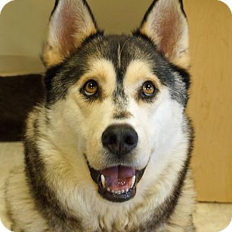 Husky/Alaskan Malamute Mix Dog for adoption in Sprakers, New York - Timber2