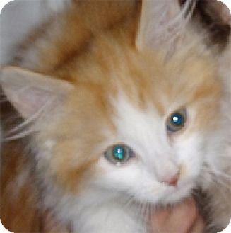Domestic Mediumhair Kitten for adoption in Garland, Texas - Honeybear
