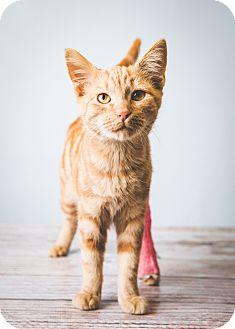 Domestic Shorthair Kitten for adoption in Hendersonville, North Carolina - Rye Joe