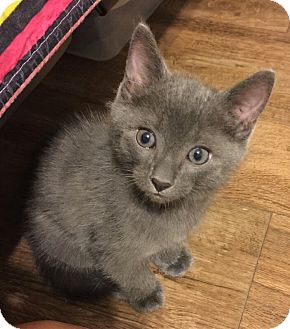 Russian Blue Kitten for adoption in Proctorville, Ohio, Ohio - Slate