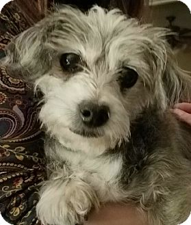 Shih Tzu/Terrier (Unknown Type, Small) Mix Dog for adoption in beverly hills, California - Stella
