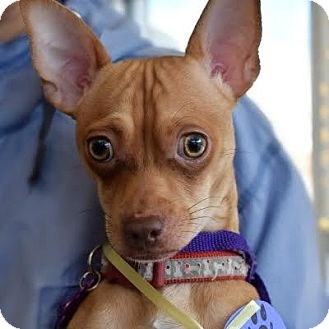 Chihuahua Mix Dog for adoption in Denver, Colorado - Philley