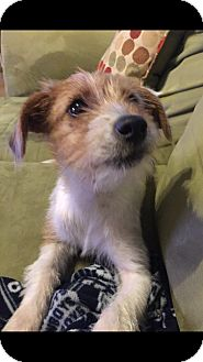 Terrier (Unknown Type, Small) Mix Puppy for adoption in Portland, Oregon - Kiki D