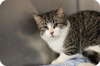 Domestic Shorthair Cat for adoption in Midland, Michigan - Kesi - BARN