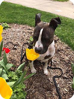 American Pit Bull Terrier Mix Dog for adoption in West Allis, Wisconsin - Birkie