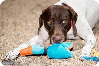 German Shorthaired Pointer Mix Dog for adoption in Lowell, Massachusetts - Hunter