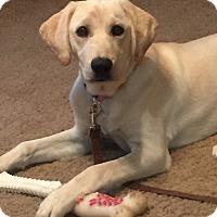 Labrador Retriever/Coonhound Mix Puppy for adoption in Astoria, New York - Snow