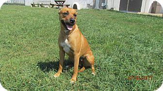 Boxer Mix Dog for adoption in LaGrange, Kentucky - NUTTER BUTTER