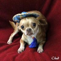 Adopt A Pet :: Chad - Dalton, GA