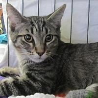 Domestic Shorthair Cat for adoption in Seminole, Florida - Archie