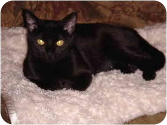 Bombay Cat for adoption in Manahawkin, New Jersey - Azreal