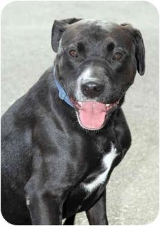 Labrador Retriever/Boxer Mix Dog for adoption in Marina del Rey, California - Jackson