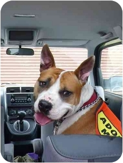 American Staffordshire Terrier/Boxer Mix Dog for adoption in Freeport, New York - Marshall