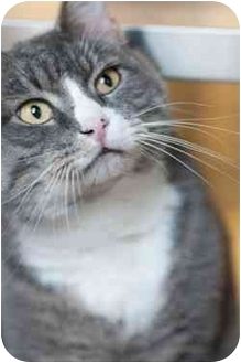 Domestic Shorthair Cat for adoption in Westbrook, Maine - Lucian