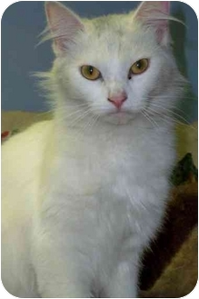 Domestic Mediumhair Cat for adoption in San Clemente, California - MELODY
