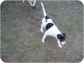 Blue Heeler/Terrier (Unknown Type, Medium) Mix Puppy for adoption in Carthage, Texas - Roxy