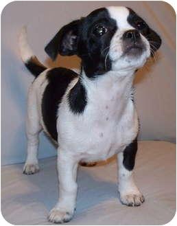 Pekingese Mix Puppy for adoption in Tahlequah, Oklahoma - Feather