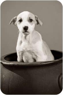 Hound (Unknown Type)/Pit Bull Terrier Mix Puppy for adoption in Portland, Oregon - Baylee