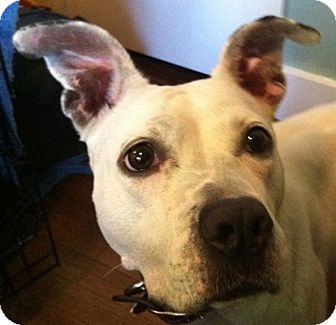 American Staffordshire Terrier Mix Dog for adoption in Long Beach, New York - Josie