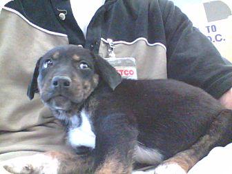 Australian Shepherd/Labrador Retriever Mix Puppy for adoption in Chesterfield, Virginia - Booboo