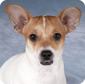 Chihuahua/Jack Russell Terrier Mix Dog for adoption in Chicago, Illinois - Cindy Lou