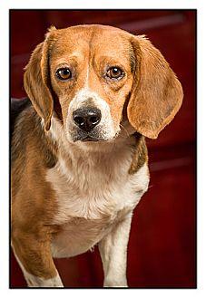 Beagle Dog for adoption in Owensboro, Kentucky - Mr. Bates