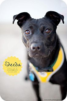 Retriever (Unknown Type)/Shar Pei Mix Dog for adoption in Detroit, Michigan - Sheeba-Adopted!