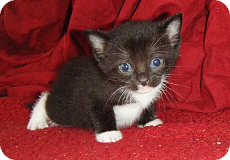 Domestic Shorthair Kitten for adoption in Bentonville, Arkansas - Starlight Mint