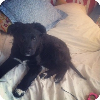 Retriever (Unknown Type)/Australian Shepherd Mix Puppy for adoption in Brooklyn, New York - Bubbles