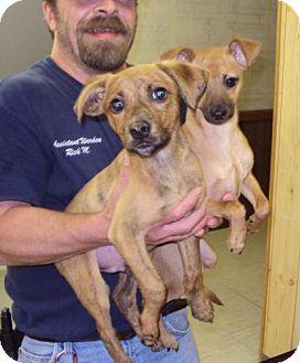 Labrador Retriever/Terrier (Unknown Type, Medium) Mix Puppy for adoption in Mt. Vernon, Illinois - Buddies