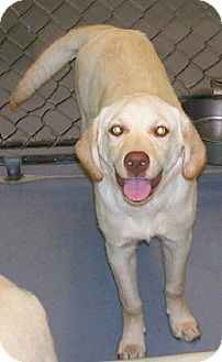 Labrador Retriever Mix Dog for adoption in Richmond, Virginia - Rodeo