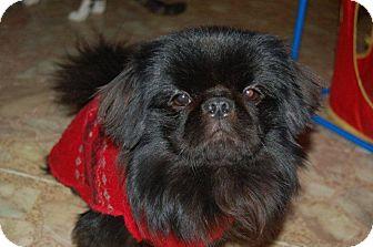 Pekingese Dog for adoption in Hazard, Kentucky - Coal